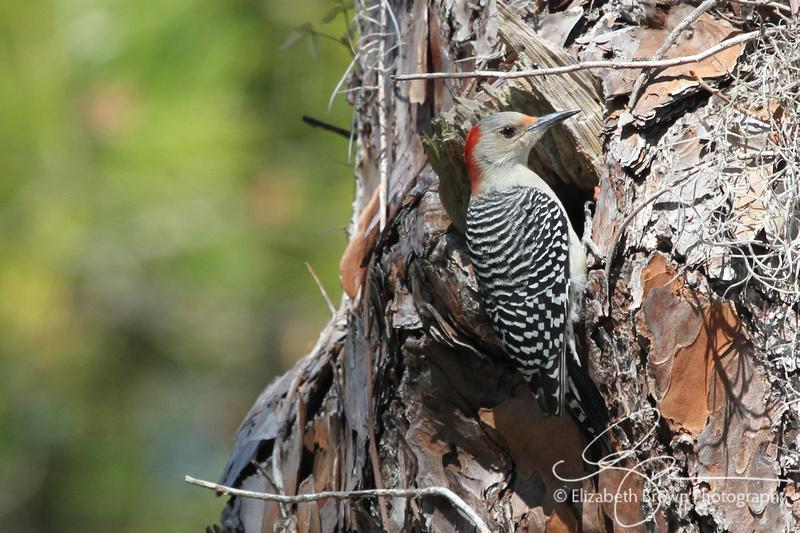 Female Red-bellied Woodpecker, Honeymoon Island State Park, Dunedin, FL