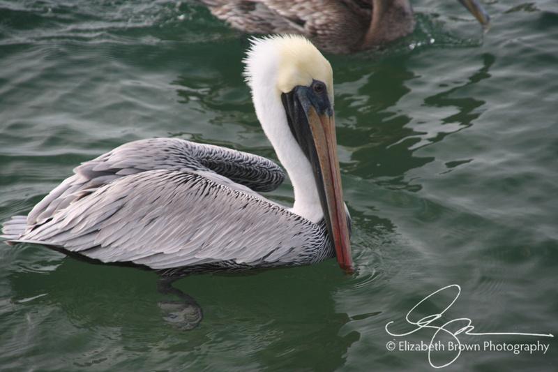 Brown Pelican, Palm Harbor, FL