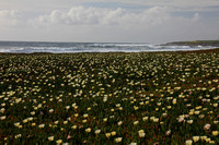 Ice Plants on the California Coast