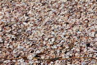Gulf Coast Seashells