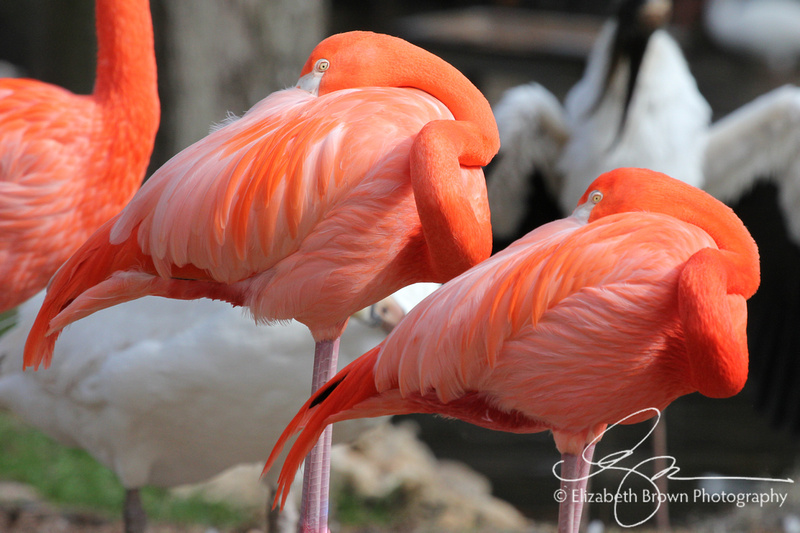 American Flamingos, Homosassa Springs Wildlife State Park, Homosassa Springs, FL