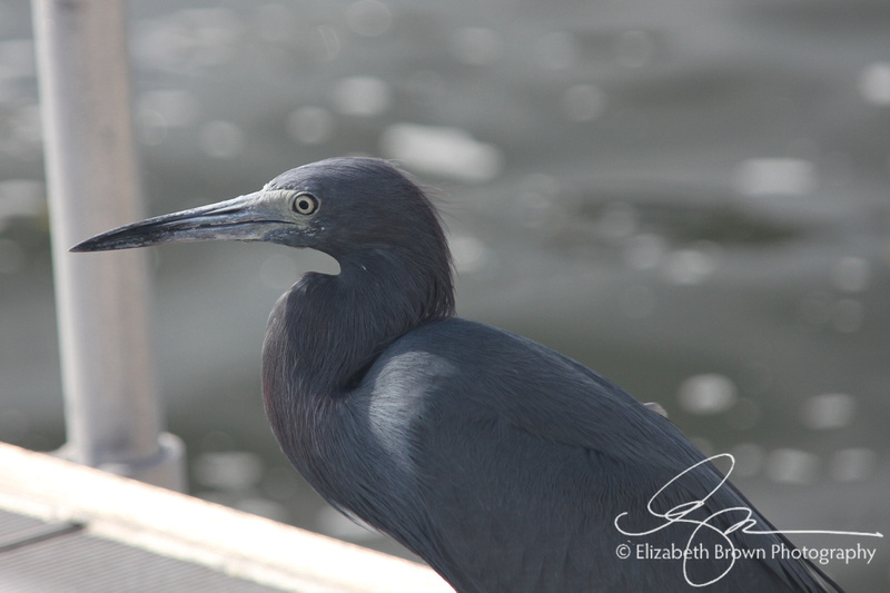 Little Blue Heron, Palm Harbor, FL