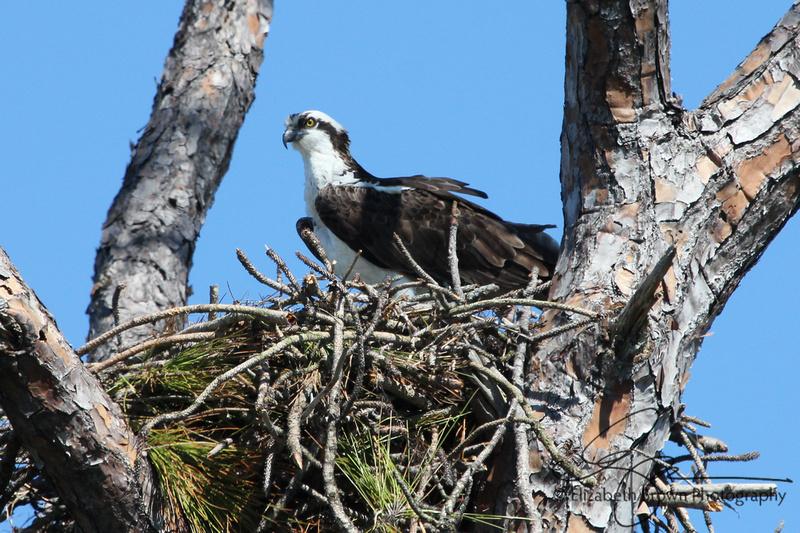 Osprey, Honeymoon Island State Park, Dunedin, FL