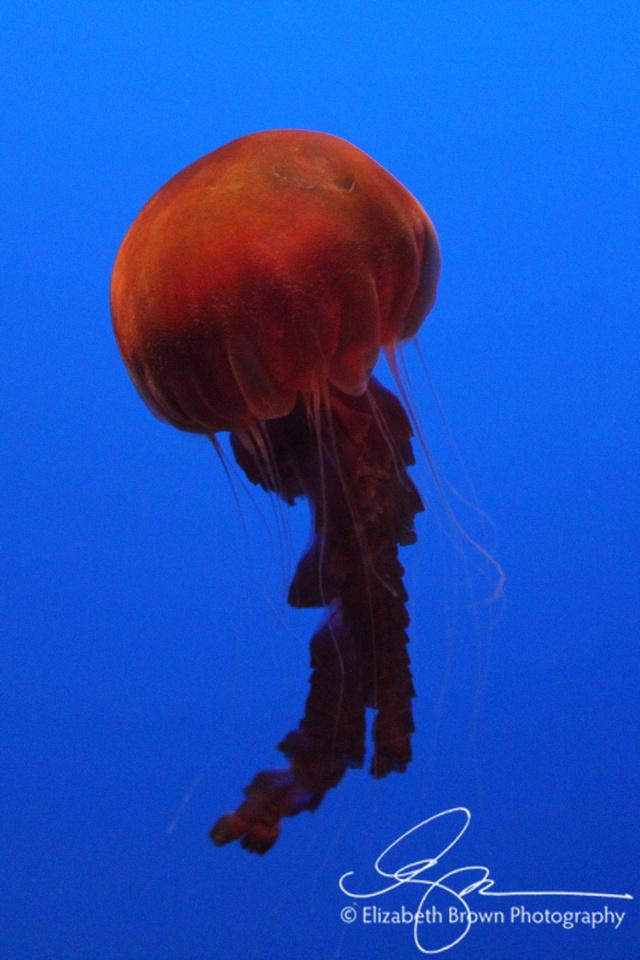Sea Nettle, Monterey Bay Aquarium, Monterey, CA