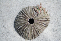 Variegated Sea Urchin