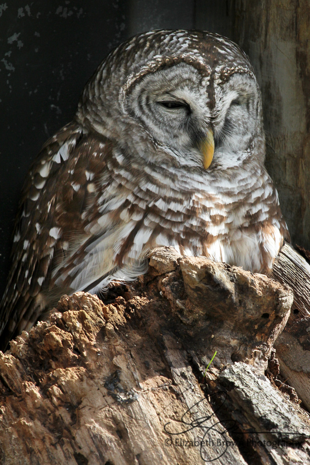 Barred Owl, Homosassa Springs Wildlife State Park, Homosassa Springs, FL