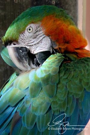 Harlequin Macaw, Sarasota Jungle Garden, Sarasota, Florida