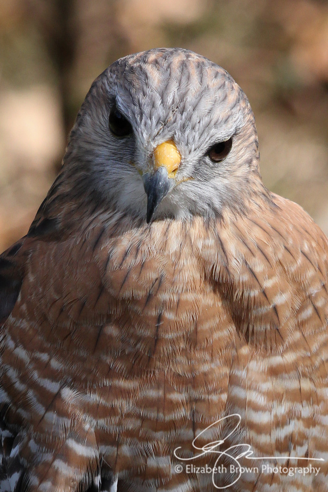 Red-shouldered Hawk, Homosassa Springs Wildlife State Park, Homosassa Springs, FL