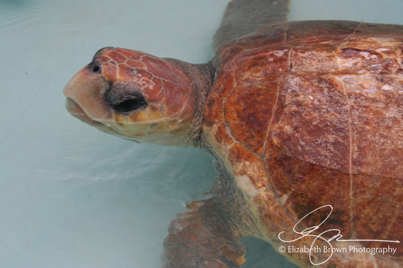 Loggerhead Turtle at the Turtle Hospital