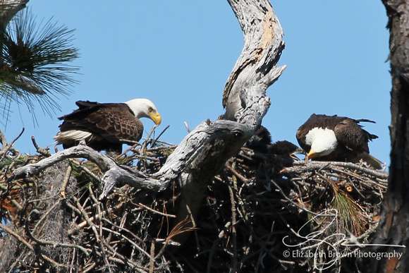Wild Bald Eagles' Nest - Parents feeding two chicks at Honeymoon Island State Park, Dunedin, FL